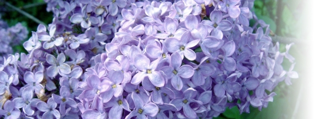 Lilas-flowers2